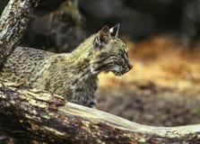 Gatto selvatico nordamericano Fotografie Stock Libere da Diritti