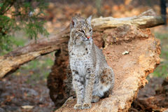 Gatto selvatico o baia Lynx Fotografia Stock Libera da Diritti