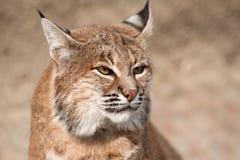 Gatto selvatico - (rufus del lince) Immagine Stock Libera da Diritti