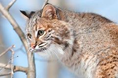 Gatto selvatico (rufus del lince) in albero - testa Fotografie Stock