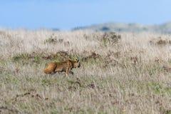 Gatto selvatico - rufus di Lynx Immagine Stock Libera da Diritti