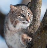 Gatto selvatico (rufus di Lynx) in albero Fotografie Stock Libere da Diritti