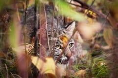 Gatto selvatico (rufus di Lynx) che visualizza comportamento di appostamenti Fotografia Stock