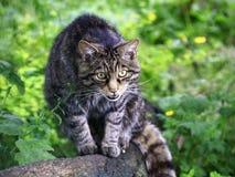 Gatto selvatico in Scozia, Regno Unito, Europa Fotografie Stock Libere da Diritti