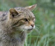 Gatto selvatico scozzese Fotografia Stock Libera da Diritti