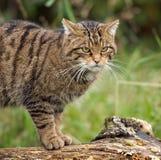 Gatto selvatico scozzese Immagini Stock Libere da Diritti