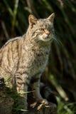 Gatto selvatico scozzese Fotografie Stock Libere da Diritti