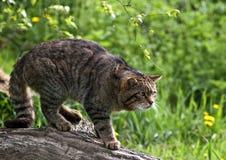 Gatto selvatico scozzese Immagini Stock