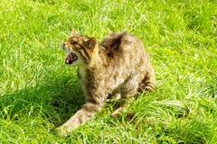 Gatto selvatico scozzese di ringhio immagine stock