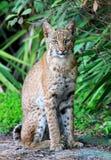 Gatto selvatico selvaggio (rufus di Lynx) Fotografie Stock
