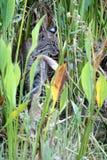 Gatto selvatico selvaggio (rufus di Lynx) Fotografie Stock Libere da Diritti