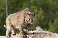 Gatto selvatico su un ceppo Fotografie Stock Libere da Diritti