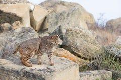 Gatto selvatico su una roccia Immagine Stock Libera da Diritti