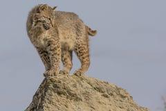 Gatto selvatico sul bordo Fotografia Stock Libera da Diritti