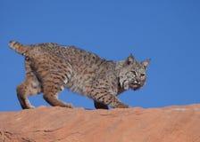 Gatto selvatico sul masso dell'arenaria rossa con cielo blu nei precedenti immagini stock
