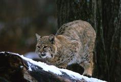 Gatto selvatico sulla filiale Fotografia Stock