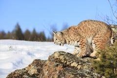 Gatto selvatico sulla sporgenza rocciosa Fotografia Stock