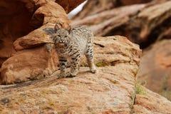 Gatto selvatico sulla sporgenza rocciosa Immagini Stock