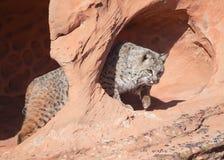 Gatto selvatico in un arco dell'arenaria rossa nel deserto dell'Utah del sud immagine stock