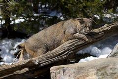Gatto selvatico VI Fotografia Stock
