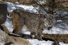 Gatto selvatico VII Immagini Stock