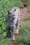 Gatto selvatico & x28; Rufus& x29 di Lynx; Fotografia Stock Libera da Diritti