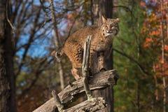 Gatto selvatico & x28; Rufus& x29 di Lynx; Aumenta sul ramo Fotografie Stock Libere da Diritti