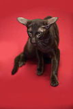 Gatto Shorthair orientale siamese marrone Fotografie Stock Libere da Diritti