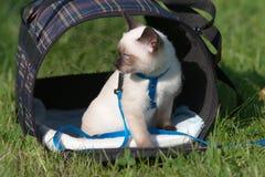 gatto siamese Immagini Stock Libere da Diritti