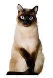 Gatto siamese Fotografia Stock