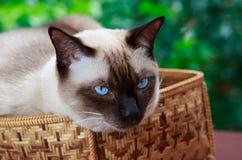 Gatto siamese Fotografie Stock