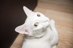 Gatto siamese bianco che esamina macchina fotografica Immagini Stock