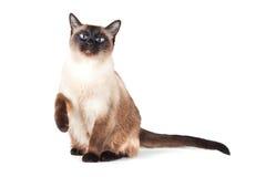 Gatto siamese con gli occhi azzurri fotografie stock