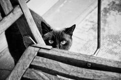 Gatto siamese degli occhi azzurri svegli che rubacchia dietro un sedia-nero e un whi Fotografie Stock Libere da Diritti