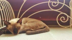 Gatto siamese di sonno Fotografia Stock