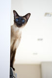 Gatto siamese orientale Fotografia Stock