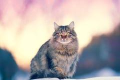 Gatto siberiano Fotografie Stock Libere da Diritti
