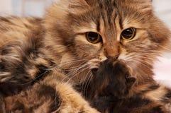 Gatto siberiano Immagine Stock