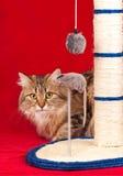 Gatto siberiano Immagini Stock Libere da Diritti