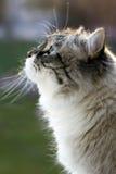 Gatto siberiano fotografia stock libera da diritti