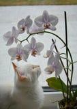Gatto siberiano bianco con i fiori dell'orchidea fotografie stock