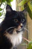 Gatto siberiano con i colori casuali degli occhi Immagini Stock