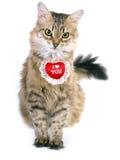 Gatto siberiano del biglietto di S. Valentino Fotografie Stock