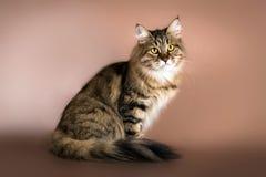Gatto siberiano di razza che si siede sul fondo marrone Immagini Stock