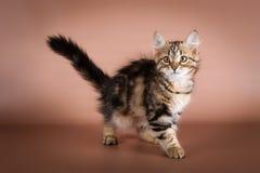 Gatto siberiano di razza su fondo marrone Fotografie Stock