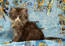 Gatto siberiano lanuginoso Fotografia Stock Libera da Diritti