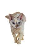 Gatto simile a pelliccia Fotografia Stock