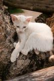 Gatto simile a pelliccia bianco con le orecchie rosa che si siedono sul ceppo di legno Immagini Stock Libere da Diritti