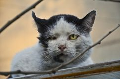 Gatto smarrito adulto con le vecchie ferite dalle lotte del territorio fotografia stock libera da diritti