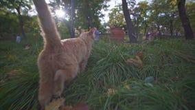 Gatto smarrito arancio che cammina e che esplora il parco della città di Odessa in Ucraina un giorno soleggiato di estate stock footage